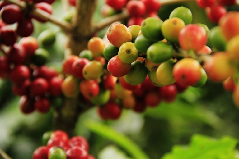 Read more about the article קפה ערביקה: מדוע קוראים לקפה ערביקה בשמו?